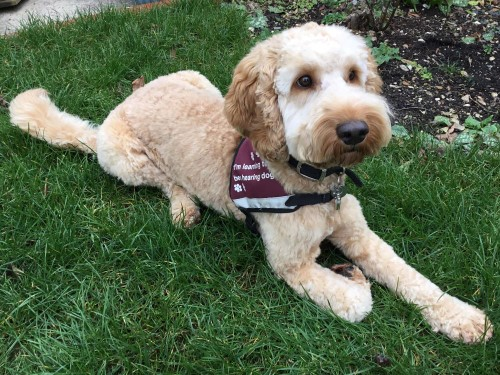Hearing Dogs for the Deaf  -  trainee dog Stanley